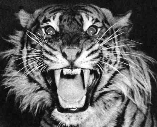 Tiger surprise